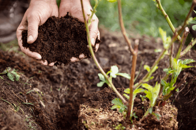 A close up photo of a person's hands holding soil next to a new shrub being planted.